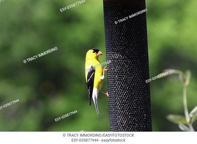 A male American Goldfinch eating thistle at a feeder in Wisconsin, USA