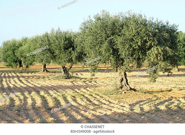OLIVE TREE PLANTATION Photo essay. Olive growing in Tunisia. Olive trees Olea europea