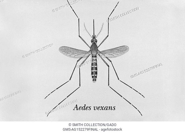 Illustration of an adult Aedes vexans mosquito, one of the mosquito species in which West Nile virus has been found, 1976