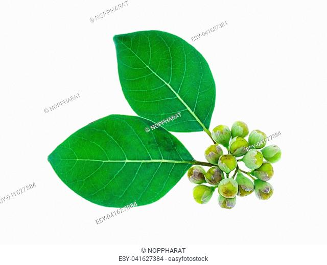 Close up Seeds and leaf of Vitex trifolia plant on white background