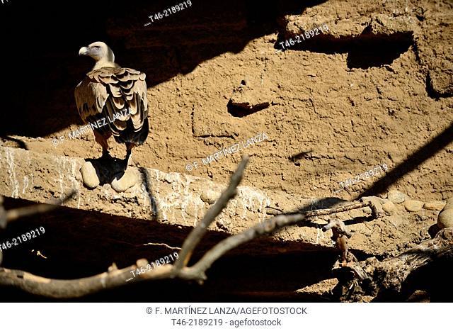 Griffon vulture Gyps fulvus, captive. Navas del Rey, Madrid province, Spain
