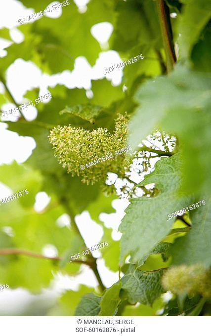 Vine after flowering