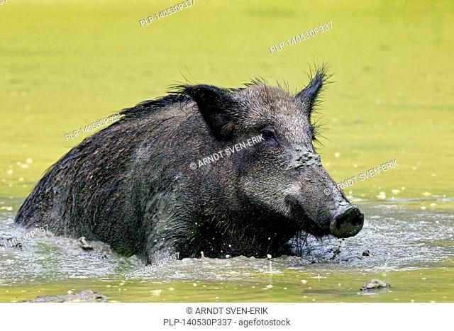 Wild boar (Sus scrofa) female wallowing in mud of pool in summer