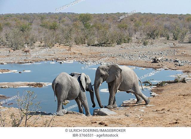 Two African Elephants (Loxodonta africana) pushing against each other, at Halali waterhole, Etosha National Park, Namibia