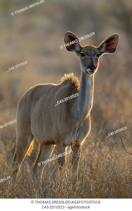 Greater Kudu (Tragelaphus strepsiceros) - Young female. Only males have horns. Kruger National Park, South Africa