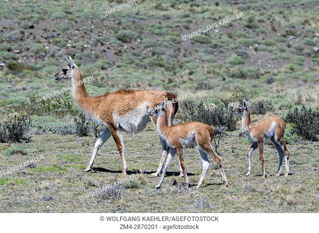 A guanaco (Lama guanicoe) with babies (chulengos) in Torres del Paine National Park in southern Chile