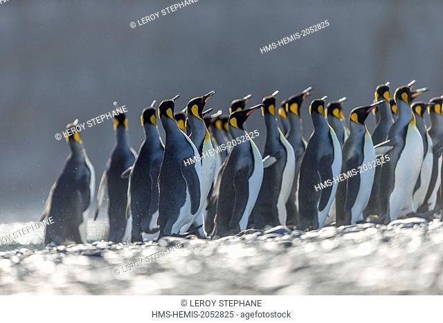 South Atlantic Ocean, South Georgia Island, king penguin (Aptenodytes patagonicus)