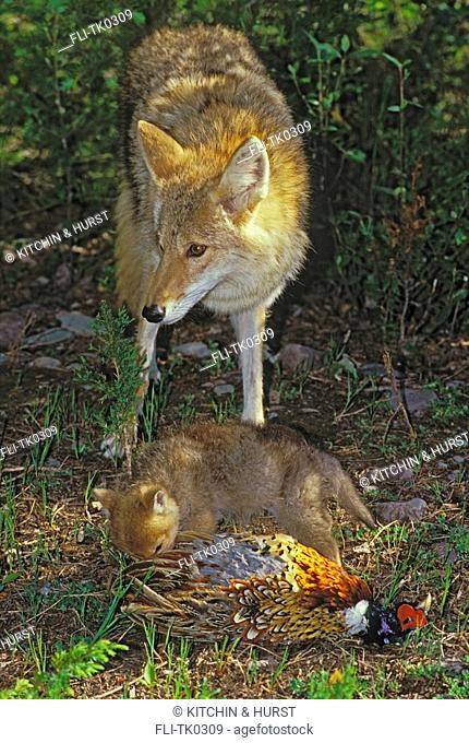 Coyote with 3 week-old pup playing with pheasant  Predator, Prey  Rocky Mountains  Canis latrans