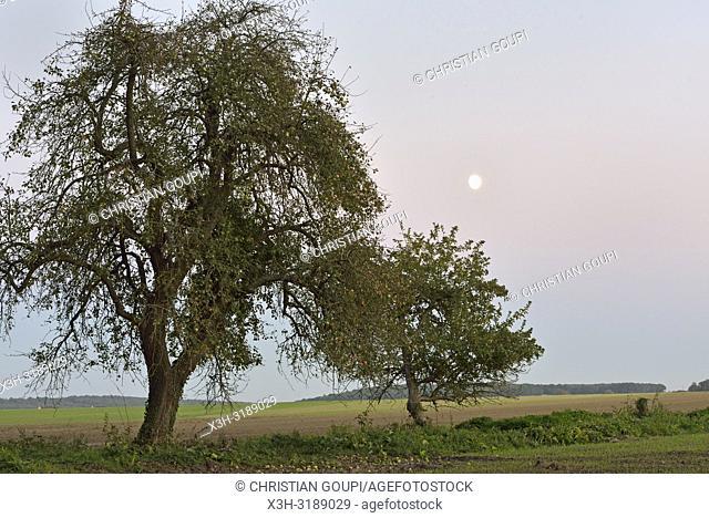 pommiers dans un champ au clair de lune, departement d'Eure-et-Loir, region Centre-Val de Loire, France, Europe/apple trees in a field in the moonlight