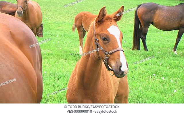 Close-up of foal in pasture with horses