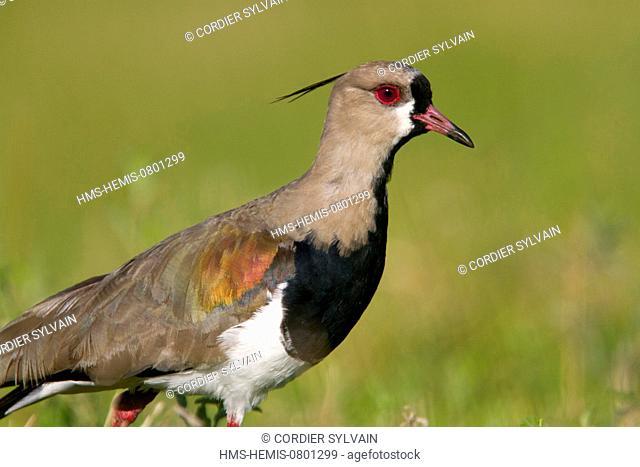 Brazil, Mato Grosso, Pantanal area, Southern Lapwing (Vanellus chilensis)