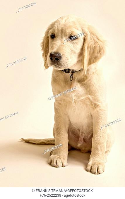 portrait of a 10 week old golden retriever puppy against a white background, mr# 6531. .