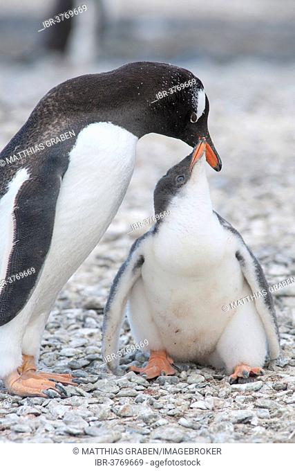 Gentoo Penguin (Pygoscelis papua) feeding young, Brown Bluff, Antarctic Peninsula, Antarctica