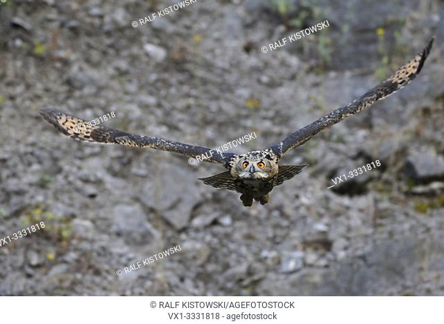 Northern Eagle Owl / Europaeischer Uhu (Bubo bubo) in frontal flight through an old quarry, wildlife, Germany, just before collision ;-).