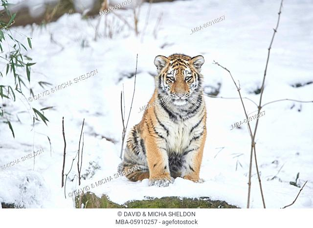 Siberian tigers, Panthera tigris altaica, young animal, winter, head-on, sit, looking into camera