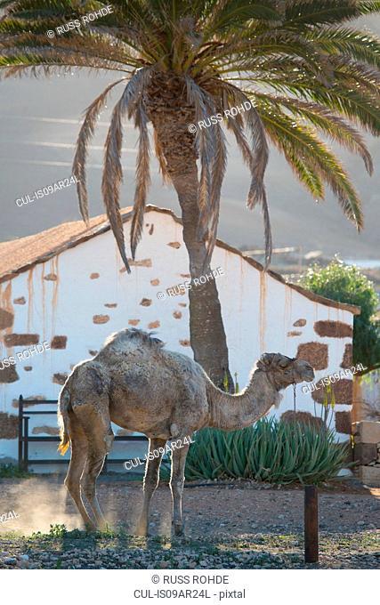 Camel at dawn, La Oliva, Fuerteventura, Spain