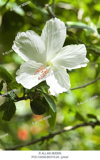 White hibiscus among bright green leaves