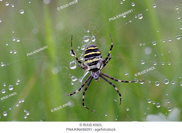 wasp spider Argiope bruennichi - Beekbergerwoud, Apeldoorn, Veluwe, Guelders, The Netherlands, Holland, Europe