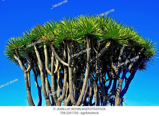 spain,canary islands, la palma : dragon-tree