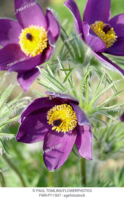 Pasque flower, Pulsatilla vulgaris, Slightly overhead view of 3 open deep burgundy flowers showing bright yellow stamens, surrounded by hairy foliage