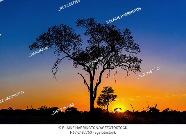 Acacia tree, sunrise, Kwando Concession, Linyanti Marshes, Botswana