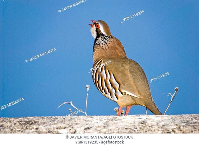 Common partridge, Alectoris rufa, Spain, Mallorca, Balearic Islands