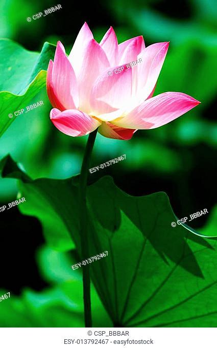 Lotus flower blooming in pond