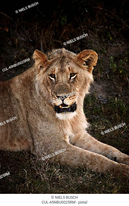 Lion laying in grass