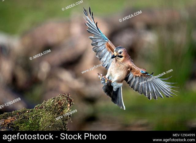Jay - in Flight about to Land - Cornwall - UK