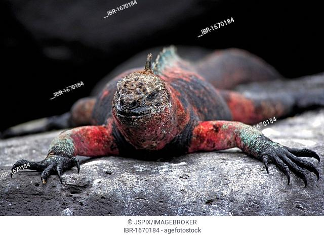Marine Iguana (Amblyrhynchus cristatus), Galapagos Islands, Pacific Ocean