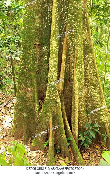 Buttress Roots of Trees in the high jungle Henri Pittier National Park Venezuela