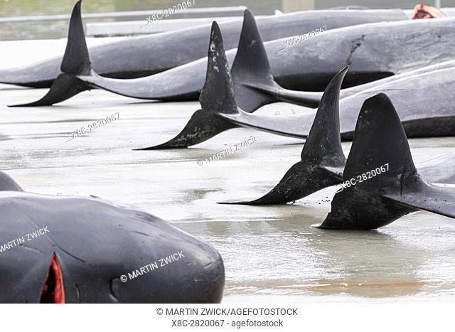 Whaling ( Grindadrap ) Long Finned Pilot Whale (globicephala melas) on the Faroe Islands, Hvannasund 2016. Whaling on the Faroe Islands is for subsistance and...