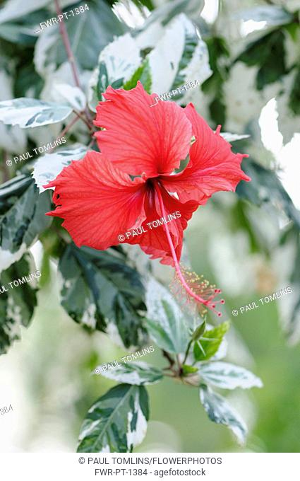 Rose mallow, Hibiscus rosa-sinensis 'Snow Queen' Front view of one red flower with long anther emerging from variegated leaves