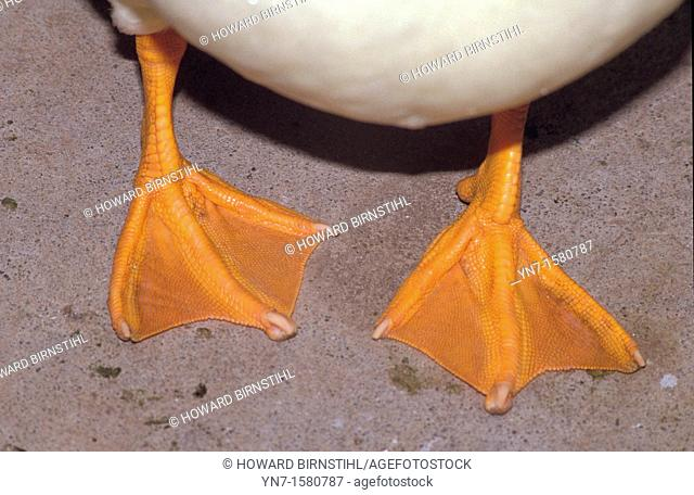 close up of a ducks orange feet Anatidae family showing the webbing used to aid the swimming process
