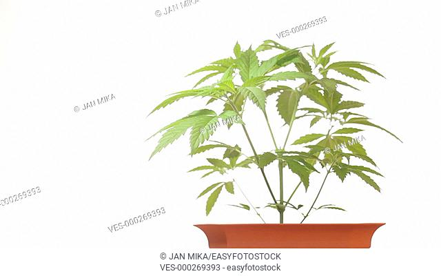 Cannabis female plant in flowerpot, Indica dominant hybrid in vegetative stage. Strain of medical marijuana with high CBD and low THC content