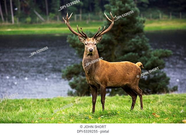 A deer with rack of antlers standing on lush grass at the water's edge; Yorkshire, England