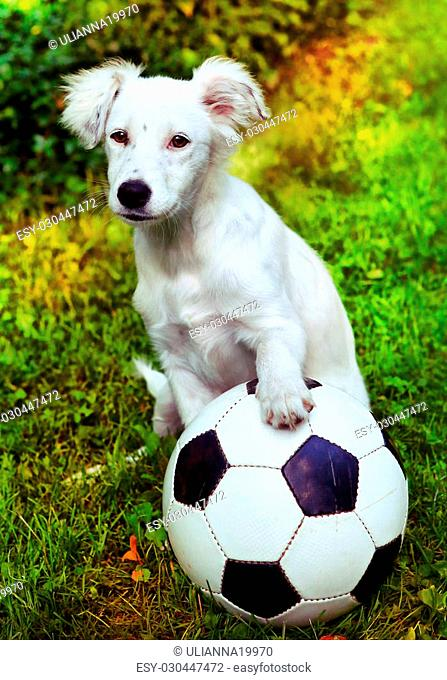 happy white puppy with black and white ball on the summer garden background