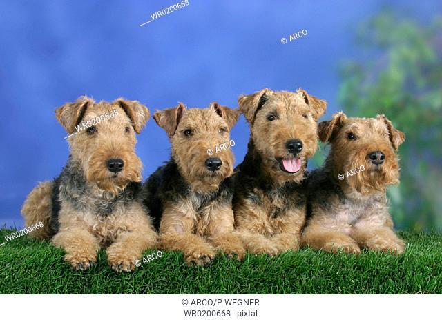 Welsh, Terrier