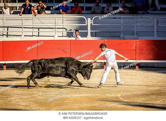A bullfighter tries to remove the rosette, tassels and strings from the head of a Camargue bull, Camargue races, Arles Amphitheatre, Arles