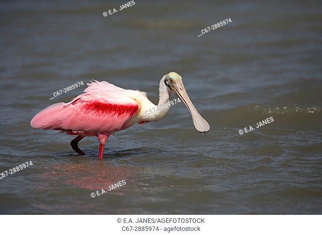 Roseate Spoonbill Ajaia ajaja feeding in lagoon on Gulf coast Florida USA