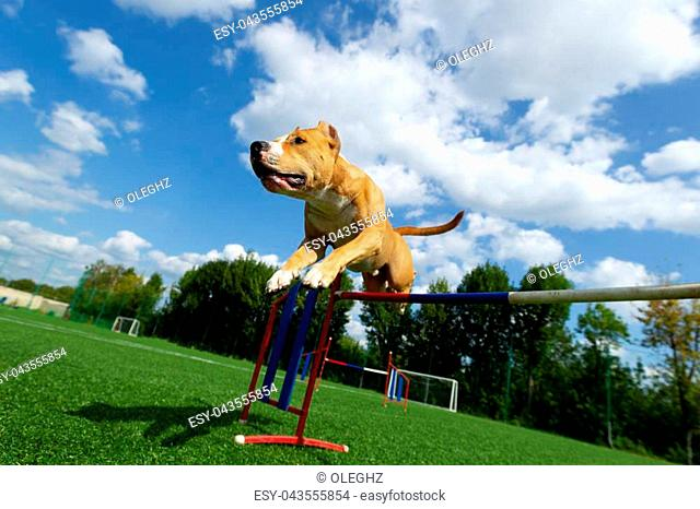 Agility, American Staffordshire terrier jumps over an obstacle