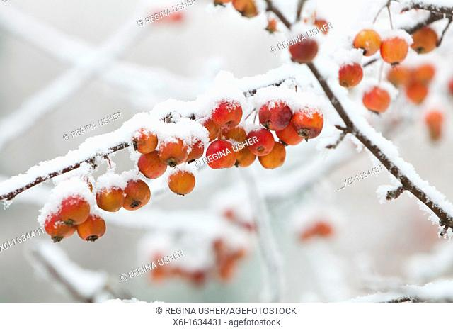 Ornamental Apple Tree Malus sp  Fruits Covered in Frost and Ice, Goettingen, Lower Saxony, Germany