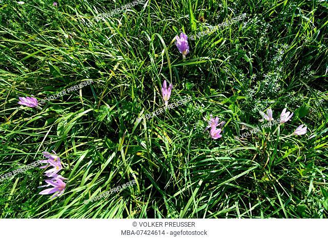 Maria-Anzbach, Herbstzeitlose (autumn crocus, meadow saffron, Colchicum autumnale), Wienerwald (Vienna Woods), Lower Austria, Austria