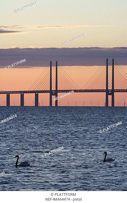 Swans in front of Oresundsbron in the sunset Sweden