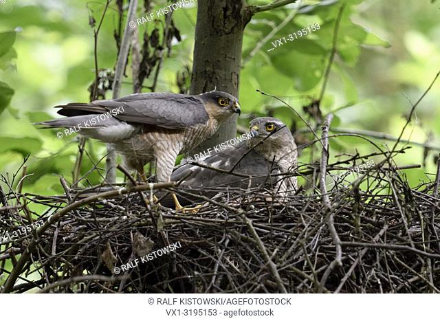 Sparrowhawks (Accipiter nisus), male and female, pair, pair, together at their nest, eyrie, size difference, wildlife, Europe