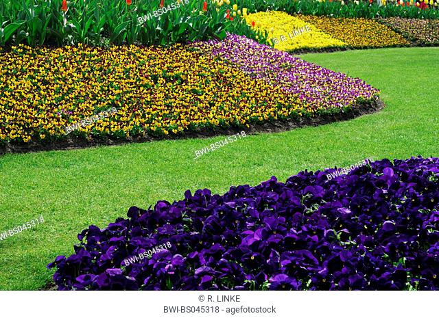 Pansy, Pansy Violet (Viola x wittrockiana, Viola hybrida), park with different forms of Pansy Violett