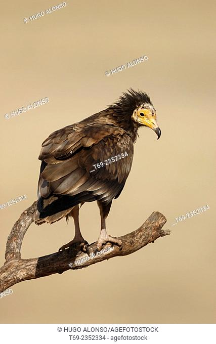 Egyptian vulture. Neophron percnopterus