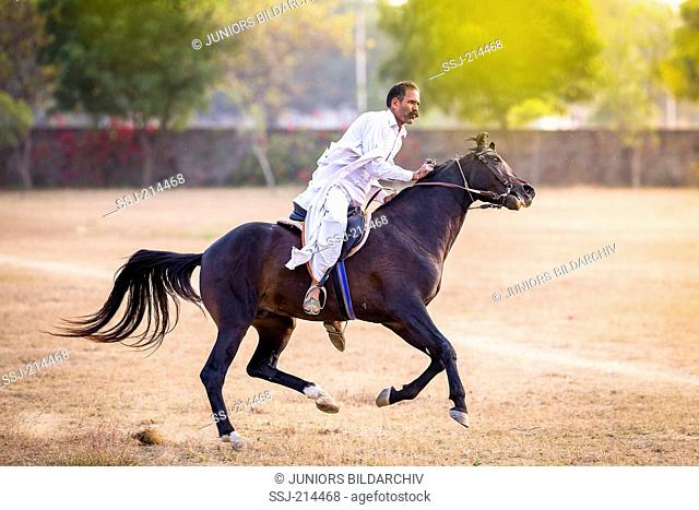 Marwari Horse. Bay stallion showing vices under the saddle by fidgeting with its head. Rajasthan, India