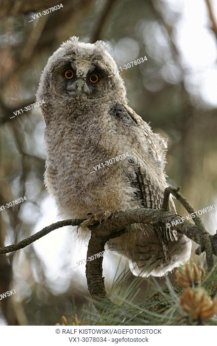 Funny young Long-eared Owl ( Asio otus ) perches in a tree / looks with wide open orange eyes directly into the camera, wildlife, Europe.
