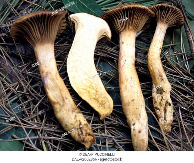 Slimy spike-cap (Gomphidius glutinosus), Gomphidiaceae